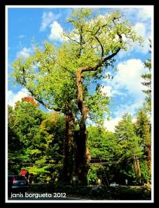 Balmville Tree - Town of Newburgh NY